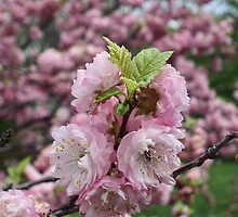 Apples Blossoms by marchello