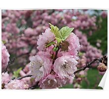 Apples Blossoms Poster