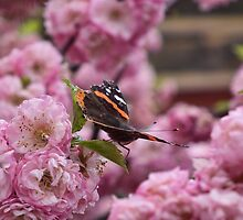 My First Butterfly..(this year) by marchello