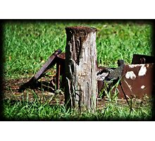 Scavenging for Food Photographic Print