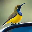 Male Olive-Backed Sunbird by Janette Rodgers