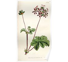 The Botanical magazine, or, Flower garden displayed by William Curtis V5 v6 1792 1793 0120 Pelargonium Bicolor, Two Colored Crane's Bill Poster