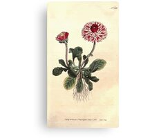 The Botanical magazine, or, Flower garden displayed by William Curtis V7 V8 1794 0025 Bellis Perennis Major Flore Pleno, Great Double Daisy Canvas Print