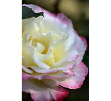 Rose Time- Double Delight Photographic Print