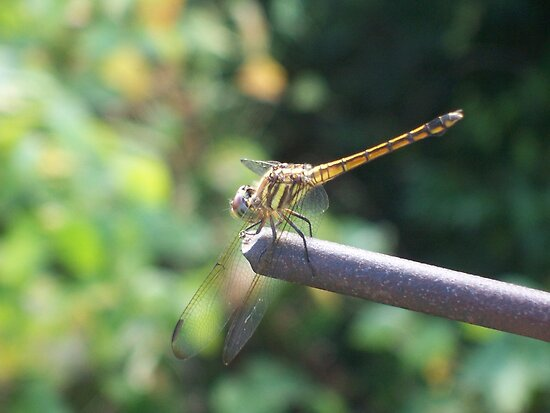 Cambodian dragonfly about to take flight by BeMyGoodTime
