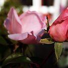 Rose by AyahMoustafa