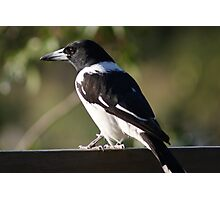 Pied Butcher Bird Photographic Print