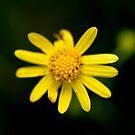 Wollombi Flower by Belinda Fletcher