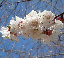 Apricot Blossoms LazyCats Music Ranch 2010 by Rob Wallace