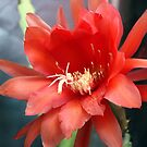 Jungle Cactus Red by Michael May