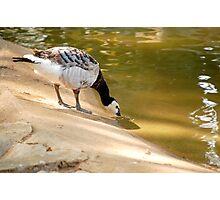 duck Photographic Print