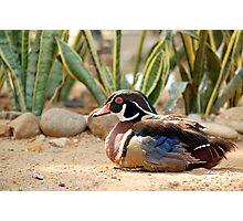 carolina duck or wood duck Photographic Print