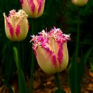 Frilly Tulip (Spring Bulbs) by Trevor Kersley