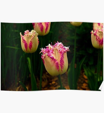 Frilly Tulip (Spring Bulbs) Poster