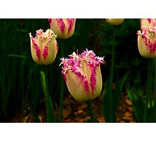 Frilly Tulip (Spring Bulbs) Photographic Print