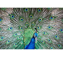 Indian Peafowl (Peacock) in MMLDC, Antipolo, Philippines Photographic Print