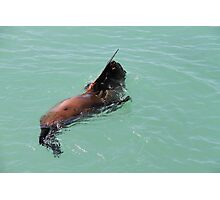 seal waving Photographic Print