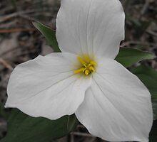 Snow Trillium - Trillium grandiflorum by Tracy Faught