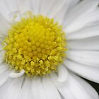 Daisy On The Lawn - #1 by Daisy-May