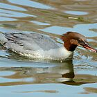 Female Goosander by Robert Abraham