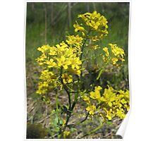 Black Mustard- Brassica nigra Poster