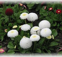 Beautiful Bellis Daisies by BlueMoonRose