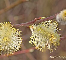 Pussywillow blooms Salix by pogomcl