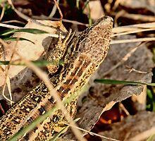 Sand Lizard Lacerta agilis by pogomcl