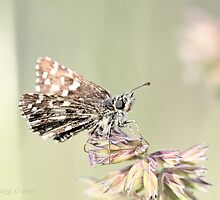 Grizzled Skipper, pyrgus malvae by pogomcl
