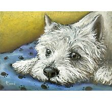 Daydreaming Westie Photographic Print