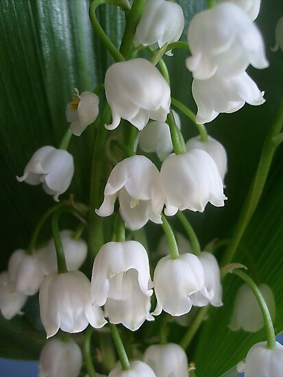 Lily of the valley by Ana Belaj