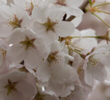A Branch of Pale Pink Sakura Cherry Blossoms - Longing for Spring Sticker