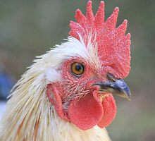 Farm talk - Peeps, now a Rooster! by Maree  Clarkson