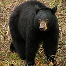 Bear  by Borror