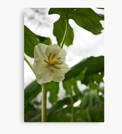 Mayapple Flower Canvas Print