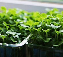 Twin pot of succulent cress by Sophie MacLeod