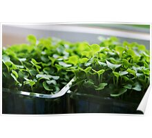 Twin pot of succulent cress Poster