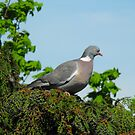 Wood Pigeon  by larry flewers