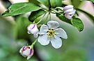 Fragrant Apple Blossoms by T.J. Martin