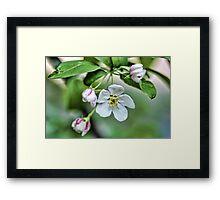 Fragrant Apple Blossoms Framed Print