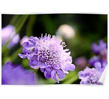 Purple Pincushion Poster