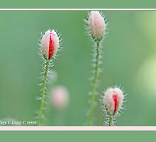 Field poppies, Papaver rhoeas C by pogomcl