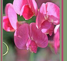 Sweet pea, Lathyrus odoratus B by pogomcl