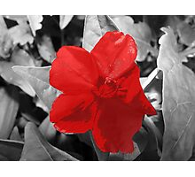 Selective Colored  Red Flower Photographic Print