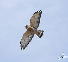 Broad-winged Hawk  by DigitallyStill