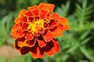 Another Marigold beauty by Maree  Clarkson