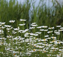 A field full of daisies by elaine pearson
