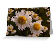white Everlastings Greeting Card