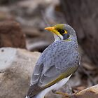 Yellow throated miner by David  Hibberd