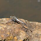 Dragonfly on a Rock by Samantha Pack